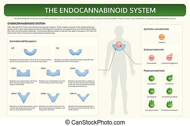 The Endocannabinoid System horizontal textbook infographic