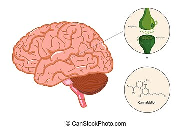 The endocannabinoid system in brain illustration about ...