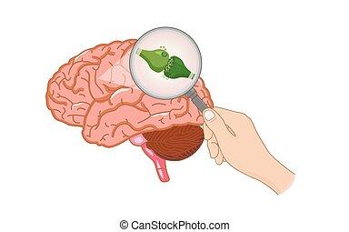 The endocannabinoid system inside brain illustration about ...