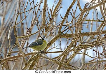 The Eurasian Blue Tit bird on a branch with curious face