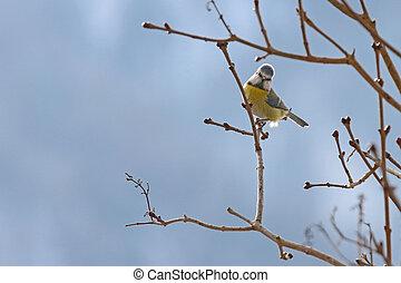 The Eurasian Blue Tit bird perching on a branch