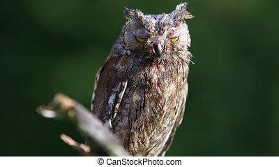 Eurasian (European) scops owl sitting on a branch - The...