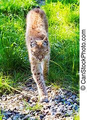 The Eurasian Lynx - Beautiful Eurasian lynx (Lynx lynx) on a...