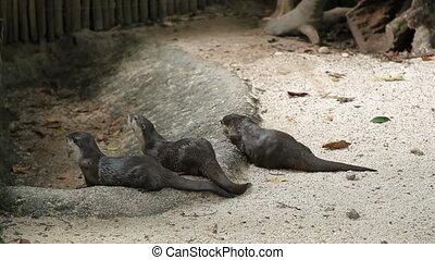The Eurasian otter (Lutra lutra). Singapore.