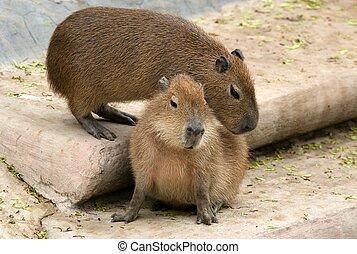 The European beaver or Eurasian beaver (Castor fiber), zoo,...