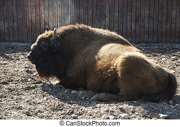 The European BISON is in the aviary of the zoo