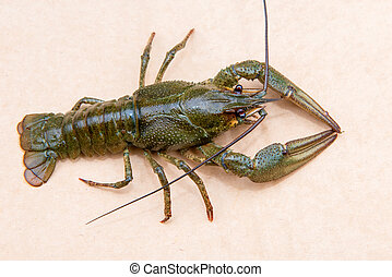 The European crayfish (Astacus astacus), noble crayfish, or broad-fingered crayfish, is the most common species of crayfish in Europe, and a traditional food source