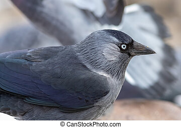 The European jackdaw in the city at winter