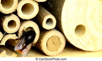 the European orchard bee closing a nest in an insect hotel