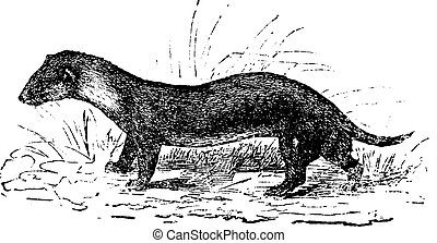 The European polecat or Mustela putorius, vintage engraving....