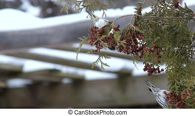 The European siskins eats seeds of thuja in winter (Carduelis spinus)