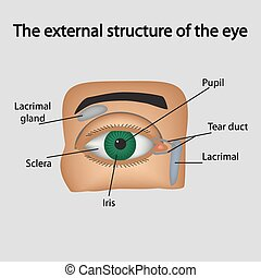 The external structure of the eye. Vector illustration.. -...