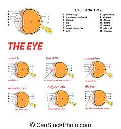 the eye anatomy