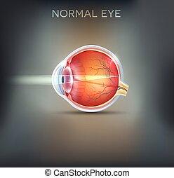 The eye. Detailed anatomy, healthy eye illustration on a...