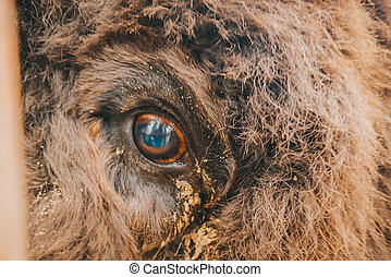 The eye of the bison close up.