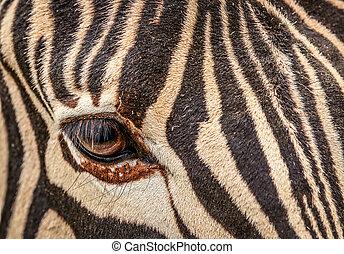The eye of zebra
