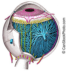 The Eyeball, vintage engraving.
