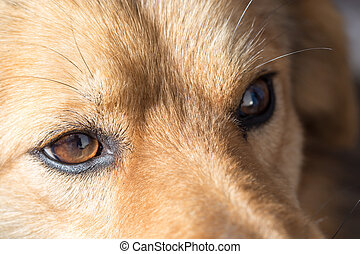 the eyes of a dog. macro