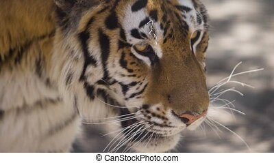The eyes of the tiger, which sneaks to the prey Slow motion...
