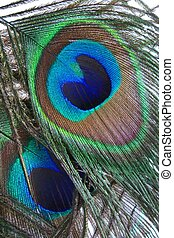 The Eyes of Two Peacock Feathers are Displayed.