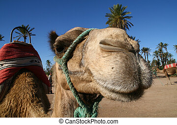 The Face of a Camel