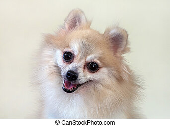 face of a Pomeranian dog.