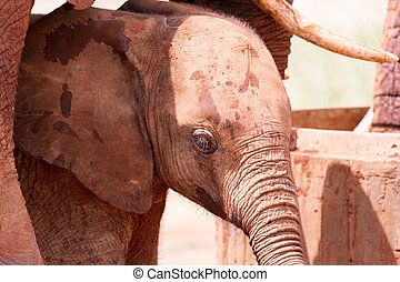 The face of a red baby elephant in closeup