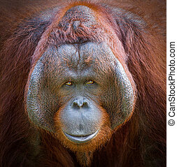 the face of orangutan..