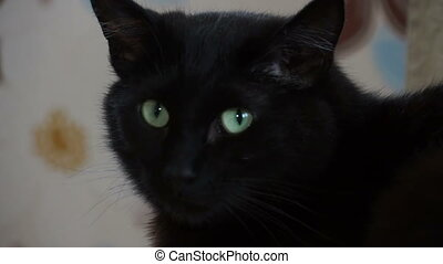 The face of the black cat