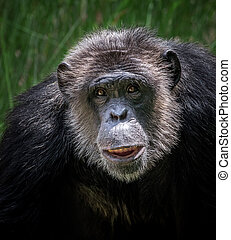 The face of the chimpanzee