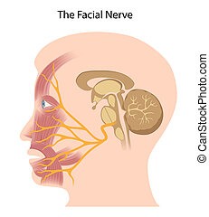 The facial nerve, eps10 - The cranial nerve that controls...