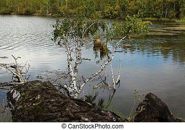 Fallen birch in the lake