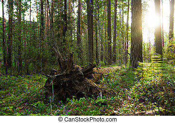 The fallen tree at the pine forest on sunrise.