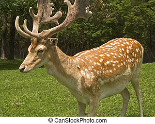 Here is a close-up shot of the fallow deer in New Jersey.