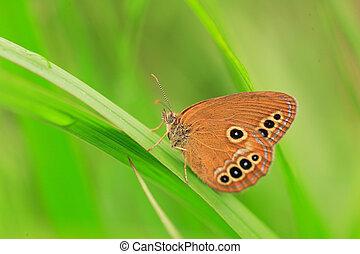 The False Ringlet butterfly