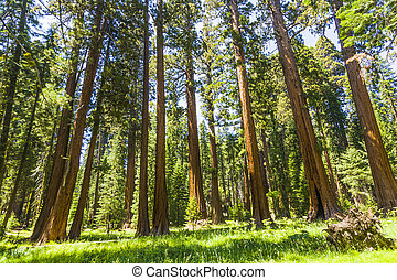 the famous big sequoia trees are standing in Sequoia...