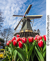 The famous Dutch windmills. View through red tulips