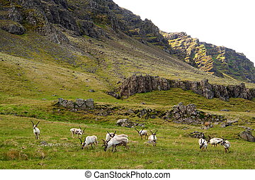 The far view of wild reindeer herds by the mountains near East Fjords, Iceland in the summer