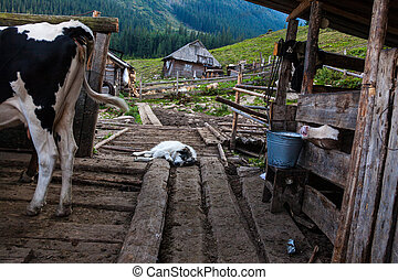 Cows in a pen and a sleeping sheepdog - The farm in the ...