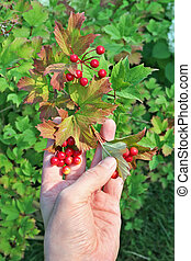 The farmer is holding a viburnum branch with red berries in ...