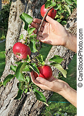 The farmer woman is holding red ripe apples on branches in his hand.