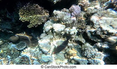 The fauna of the Red Sea. Beautiful silver fish swims along the picturesque coral reef. Dynamic video of fish in clear blue water. Beautiful background of the underwater world.