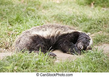 The Fearless Honey Badger