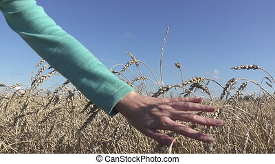 The female hand moves through stalks of ripe wheat to sunny...