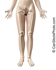 The female leg bones - 3d rendered illustration of the...