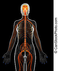 The female nervous system - 3d rendered illustration of the ...