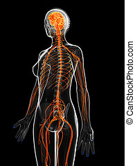 The female nervous system - 3d rendered illustration of the...