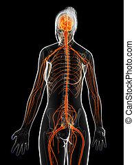 The female nervous system - 3d rendered illustration of the...