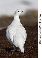 The female partridge tundra Bering Island