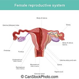 The female reproductive system. - The female reproductive...